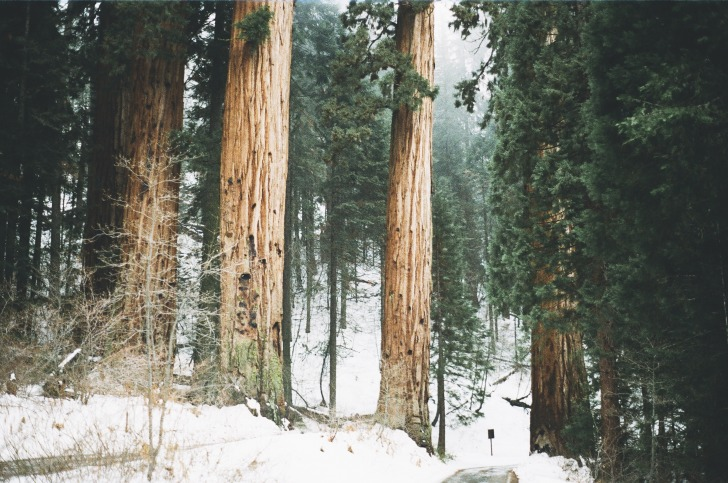 Redwood trees in winter