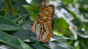 Nicaragua butterfly