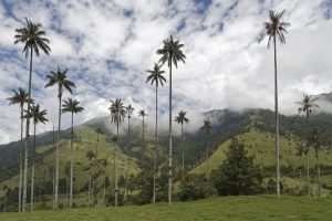 Colombia palms