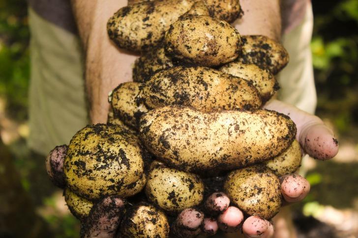 Hands full of potatoes