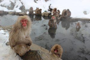 Snow monkeys in thermal waters